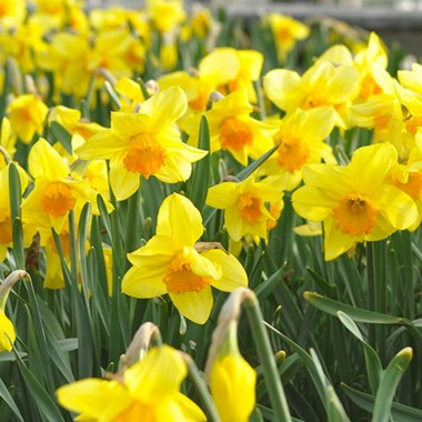 Daffodil Festival Weekend in Nantucket – 4/29-5/1